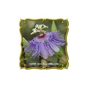 1/4 Lb   Purple Passion Flower   Bulk Wildflower Seeds